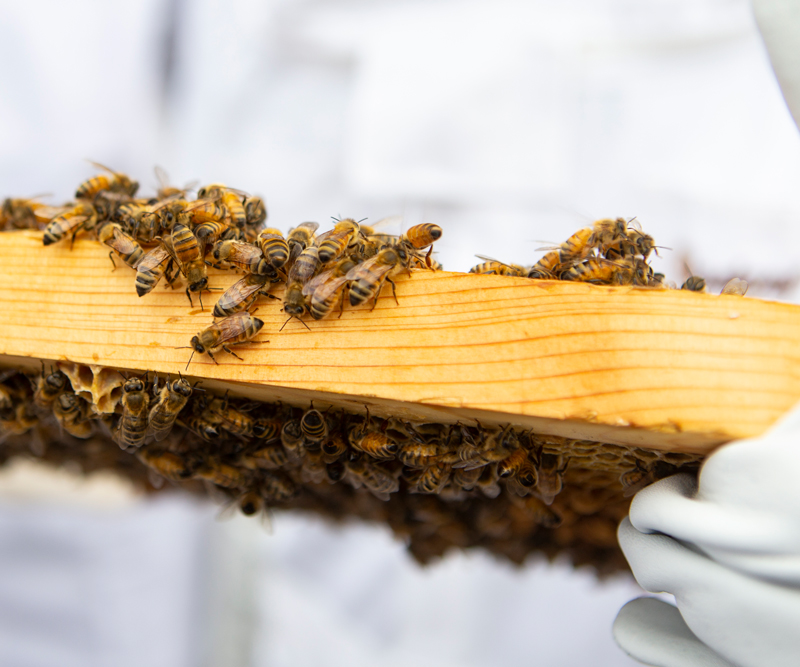 Beekeeper holding a honeyboard covered in bees