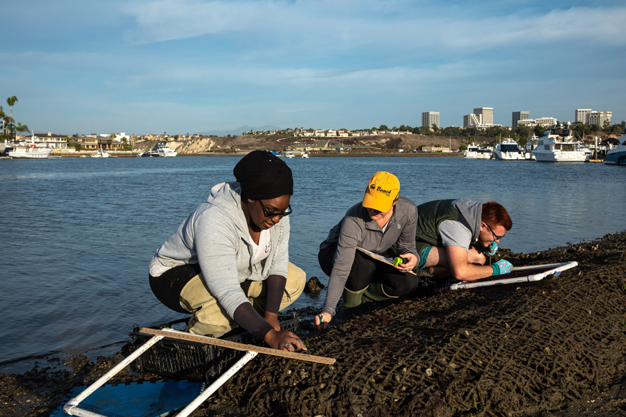 Professor Christine Whitcraft (center) and CSULB students Elishabah Tate-Pulliam (left) and Cody Fees (right) partner with Cal State Fullerton and Orange County Coastkeeper to restore native oysters, in conjunction with restoring eelgrass habitat, November 26, 2019. Olympia oysters were once an important food source for native Californians. Oysters also provide habitat and refuge for organisms, such as octopi, crabs and juvenile fishes, who take shelter on the structure oyster beds provide. Oysters are filter feeders, so they improve water clarity and help stabilize mudflats.